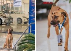 На работу в автосалон приняли бездомного пса, и хозяева предприятия не прогадали!